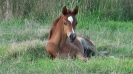 Undurra Bojangles chestnut colt foal