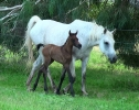 Undurra colt foal (Simeon Shatah x Undurra Simone)