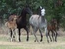 Undurra foals by Simeon Shatah