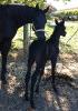Undurra Satine -black mare by Simeon Shoah