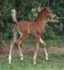 Undurra Bojangles - colt foal by Simeon Shoah