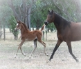 Undurra Kiraa and her Egyptian filly by Simeon Shiur