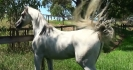 Simeon Shatah exotic grey stallion
