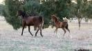 Undurra Arabians