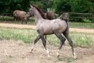 Undurra colt foal 2016