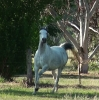 Undurra Alissa pretty moving arabian mare