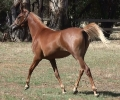 Undurra Angelise- Russian/Egyptian/Australian filly