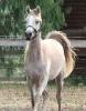 Undurra Homer- Egyptian/Russian/Spanish/Australian gelding