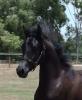 Undurra Lyrical Amir - a special black colt