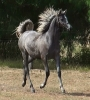 Undurra Matilda - black/grey filly by Asfour son