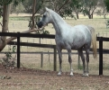 Undurra Matilda lovely 4 year old filly