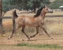 Undurra Max -Undurra endurance arabian in Tasmania, Australia