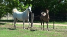 Undurra Mia and grey colt by Simeon Shiur