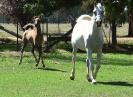 Undurra Mia's colt foal by Simeon Shiur