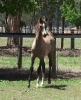 Undurra Santiago -another fine example of Angelique's foals