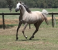 Undurra Serine -3 year old filly by Simeon Shatah