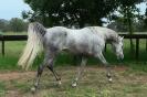 Simeon Saadli - athletic colt for sale