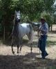 Simeon Saadli - straight Egyptian stallion