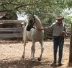 Simeon Shatah  arabian stallion
