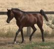 Simeon Shiur- straight Egyptian colt