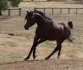 Simeon Shiur - charismatic bay colt